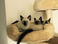 Beautiful Seal Point Siamese Kittens. We have 2 litters