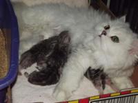 These gorgeous kitties were born June 9, 2014 and are