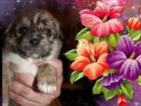 ShiChi(Shi Chi)Chihuahua / Shih Tzu Hybrid DogsI have 5