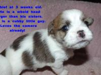 / Shih Tzu Hybrid DogsI have 3 young puppies left for