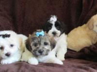 "Adorable Shichon Babies !!!!"" Teddy Bears"" we have 2"