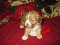 One little Shih/Poo child born in our home 11-17-14. He