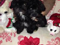 Adorable shih-poo female puppy, last in the litter,