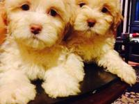 Adorable shihpoo male and female puppies , different
