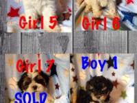 For Sale: Shih-poo puppies for sale. Ready now. 1 males
