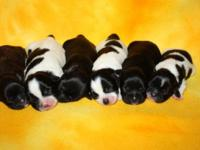 "These beautiful ""Shih Poo"" puppies were born 8/25/15."