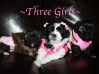 These adorable Shih Poo puppies were born 8/25/15.