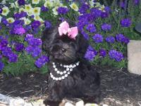 Adorable Shih-Poo (Shih Tzu/Poodle) puppies available