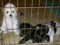 We have 3 very sweet Shih Tzu, Poodle mix puppies to re