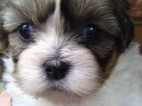 Beautiful Shih Tzu puppies. Born September 27,2013.They