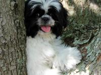 Adorable Shih Tzu Puppies -- Two Black & White females.
