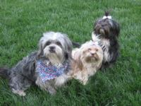 AKC Shih-Tzu girl Honey. Both parents are small