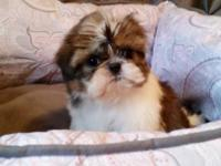 I have 2 extremely sweet Shih Tzu children available.