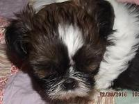 Adorable male Shih tzu puppy born Nov 16th- Ready on
