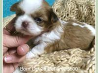 Imperial Shih Tzu Male 6lb adult weight Pet home $500
