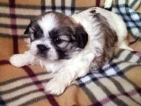 Beautiful Shih Tzu puppies, purebred and with papers. 2