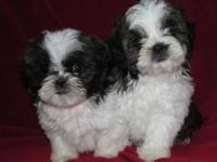 2 adorable Shih Tzu puppies will be needing new homes