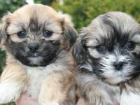 Adorable Shih tzu puppies - 2 females & 2 males.