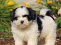 Shih Tzu puppies are available for sales,They are
