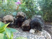 Cute little shih tzu puppies..... Shots and wormedready