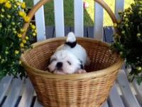 I have a litter of adorable Shih Tzu puppies. 3