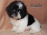 Meet Bandit and Rascal!! Two adorable shih tzu puppies