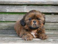 I have 4 Shih tzu puppies left, and they are ready for