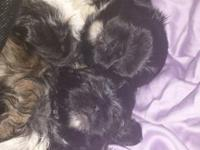 2 adorable guy shih tzu puppies readily available !!!!