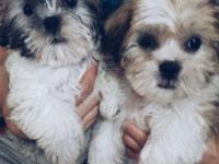 I have 2 stunning Shih Tzu girls offered. They are 8