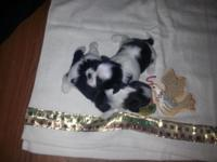 Cutest black and white shih Tzu young puppies. I have 2