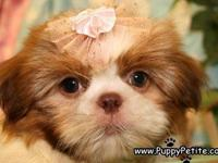 Sweet and tiny Shih Tzu puppies are waiting for you.
