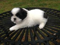 She is white with black and brown markings. She will be