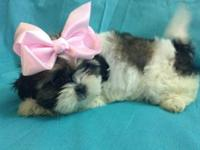 6 gorgeous Shih Tzu young puppies for sale born