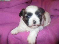 Shih Tzu puppies born and raised in our home. Girl is