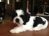 Oreo is an easy going Shih Tzu puppy with a. adorable