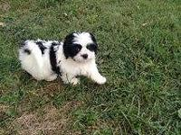 Adorable purebred Shih Tzu(male). Last among the