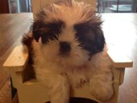 Sweet little Zoe is an Imperial Shih Tzu! Her