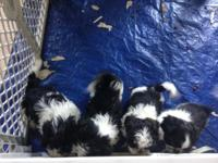 I have 4 white and black adorable shih-tzu young