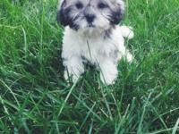 I have 2 attractive Shih Tzu girls offered. They are 8