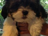One cute ShihPoo/Cockapoo tri-color male puppy left and
