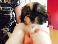 Sweet, loving puppies. Very affectionate lap dogs,