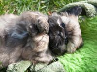 Beautiful Shinese (Shih tzu/Pekingese) puppies for