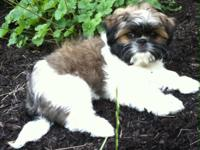 Gorgeous Shinese (Shih tzu/Pekingese) puppy for sale.