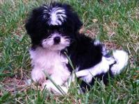 Shorkie Girl born May 14th, 2013. China has been raised