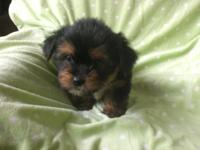 This is China and she is a shorkie. She is 8 weeks old