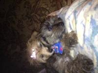 ABSOLUTELY ADORABLE 9 Week Old SHORKIE TOY PUPPIES ONLY