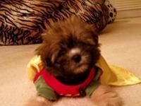 We have to sell our 10 week old adorable shorkie puppy.