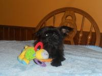Cute shorkie pups available now. They are 18weeks old,