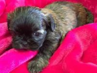 Very cute Shorkie puppies with beautiful brindle