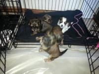 I have 5 Shorkie puppies for sale 2 male's and 3